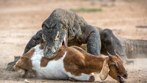 Komodo Hunt