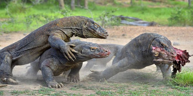3 Komodo dragon