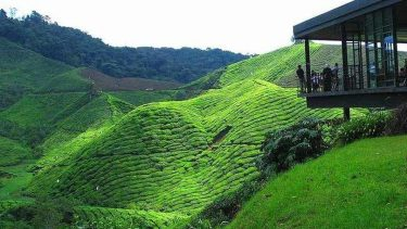 Boh tea farm